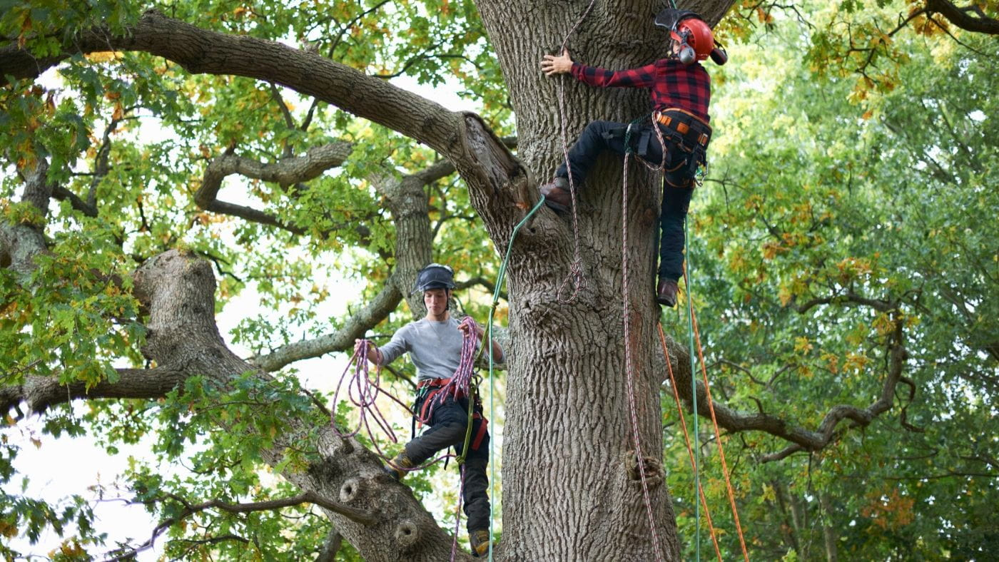 Two young male arborists climbing up and cutting trees